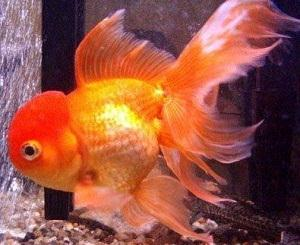 Orange Oranda Goldfish