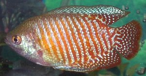 Male Neon Red Dwarf Gourami